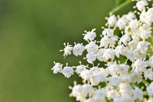 bodza tea virág