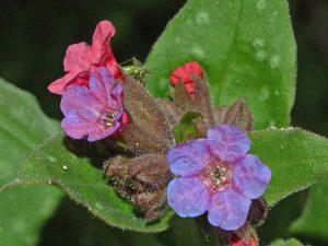 tüdőfű tea virága