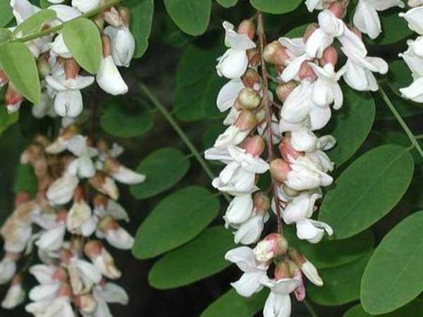 Akácvirág tea hatásai