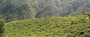 Darjeeling teás ültetvény