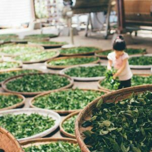 Szálas fekete tea betakarítás