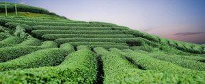 Szálas fekete tea ültetvény